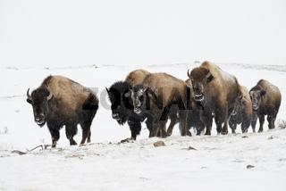 in Trupps unterwegs...  Amerikanischer Bison *Bison bison*