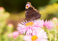 Peacock butterfly on a pink aster flower