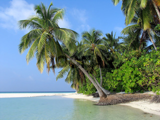 Overhanging Palm on a tropical island, Maldives