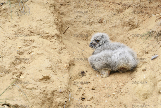 helpless chick... Eurasian Eagle Owl *Bubo bubo*