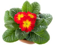 Red primrose in flowerpot isolated against white