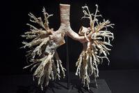 Präparat, Plastinat, Bronchialbaum der Lungen,  Menschen Museum,