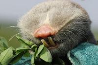 macro portrait of lesser mole rat ( Spalax leucodon ) showing large teeths
