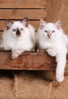SACRED CAT OF BIRMA, BIRMAN CAT, BIRMAN, KITTEN, LITTER, SEALPOINT, TORTIE,