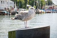 Seagull at the port