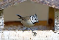 crested tit in the bird house