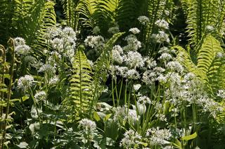 Matteucia struthiopteris, Straußenfarn, Trichterfarn im Licht mit Allium ursinum, Bärenlauch