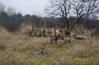 auf der Jagd... Rotfuchs *Vulpes vulpes*