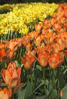 Rabatten von Tulpen (Tulip fosteriana Orange Emperor) und Narzissenblüten (Narcis Martinette)