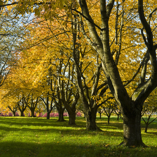 Fruit trees in autumn foliage fruit, trees in autumn