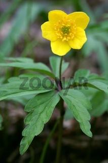 Gelbes Windröschen, Anemone ranunculoides