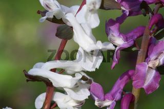 Hohler Lerchensporn, Corydalis cava, fumitory family