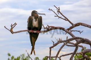 Female Magnificent Frigatebird sitting on a tree on North Seymour Island, Galapagos National Park, Ecuador