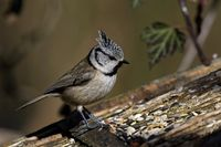 crested tit on the bird house