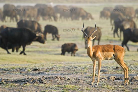 Impala and African buffalos or Cape buffalos, Chobe National Park, Botswana, Africa