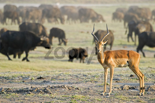 Impala, Aepyceros melampu, und Afrikanische Bueffel oder Kaffernbueffel, Syncerus caffer, Chobe Nationalpark, Botsuana, Afrika,  Impala and African buffalos or Cape buffalos, Chobe National Park, Botswana, Africa