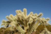 Cholla Cactus agains a bright blue sky.