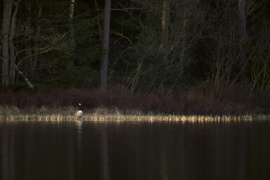 lonely... Canada Goose *Branta canadensis*