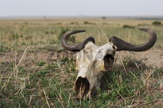 Wildebeest skull lying in the Masai Mara