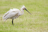 Common spoonbill joggles