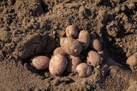 Seed potatoes in soil outdoors