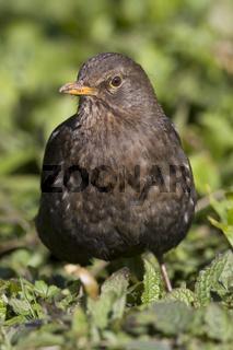Amsel, Turdus merula, Eurasian Blackbird