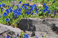 Kochscher Enzian oder Gentiana acaulis - stemless gentian or Gentiana acaulis flower in spring