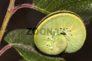 UK Berkshire Curled Up Caterpillar