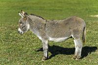 Hausesel (Equus asinus asinus) auf der Weide