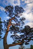 japanese black pine on a blue sky, Nikko, Japan