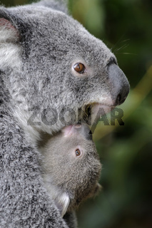 Koala Bär, Phascolartus cinereus, Mutter mit Jungem, Queensland, Australien