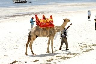 Dromedary on the beach