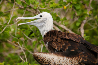 Baby Magnificent Frigatebird sitting on a tree on North Seymour Island, Galapagos National Park