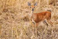 female steenbok in South Africa, Raphicerus campestris