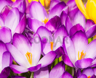 Purple crocus flower blossoms background