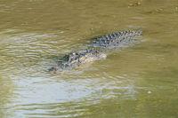 Saltwater Crocodile, Yellow River, Australia