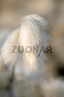 Bluete des Schmalblättrigen Wollgras