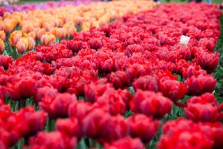 Flower bed of multicolored tulips, Keukenhof, the Netherlands.