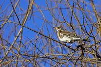 Fieldfare in a tree