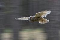 panning shot... Indian Eagle Owl *Bubo bengalensis*
