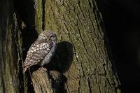 watching... Little Owl *Athene noctua*