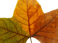close-up of an autumn leave on white background