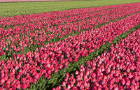 Blooming tulip field of red tulips in the area of Bollenstreek, Netherlands