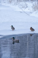 Wild ducks swim in a freezing winter pond among ice and snow