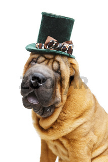beautiful shar pei puppy in hat
