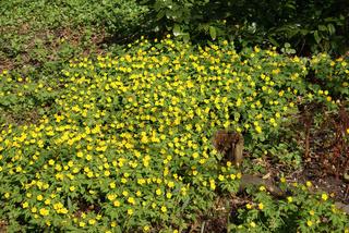 Anemone ranunculoides, Gelbes Windröschen