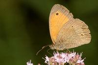 Meadow brown on oregano