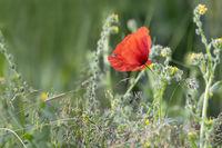 Single wild poppy in tall grass with caterpillar