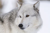 the eyes of a wolf... Gray Wolf *Canis lupus*