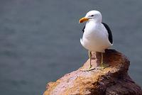 Kelp Gull, South Africa